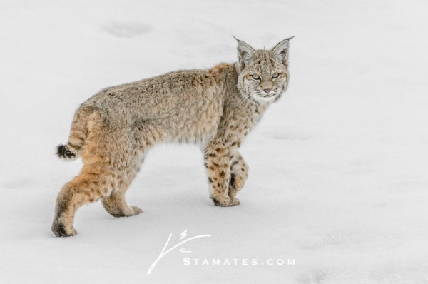 Bobcat Snow