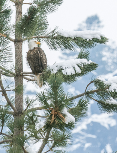 Bald Eagle-_JSC7580