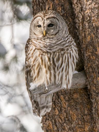 Barred Owl-_JSC7419