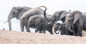 elephant-group