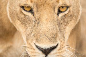 lioness-face